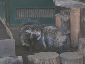 こども動物園タヌキ